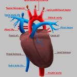 Srdce - biologie